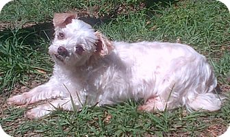 Maltese Dog for adoption in Marion, Alabama - Lily