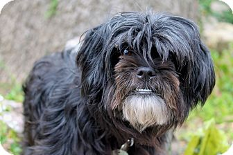 Lhasa Apso/Poodle (Miniature) Mix Dog for adoption in Los Angeles, California - Poppy - 10 pounds