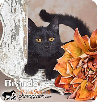 Domestic Shorthair Kitten for adoption in Broadway, New Jersey - Brando