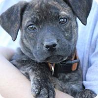 Adopt A Pet :: *Princess Littlefoot - PENDING - Westport, CT