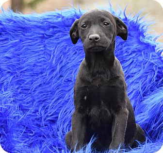 Labrador Retriever Mix Puppy for adoption in Groton, Massachusetts - Lexi