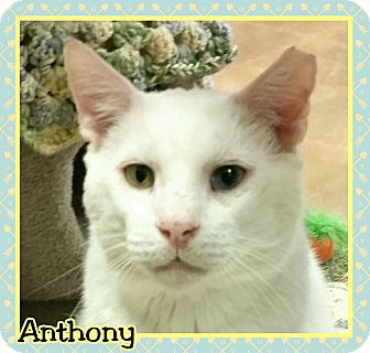 Hemingway/Polydactyl Cat for adoption in Atco, New Jersey - Anthony