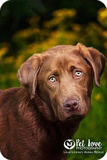 Labrador Retriever Mix Dog for adoption in Cincinnati, Ohio - Moose