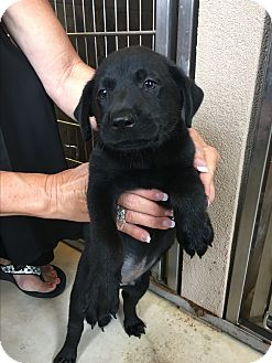 Labrador Retriever Mix Puppy for adoption in Hartford, Connecticut - Lincoln