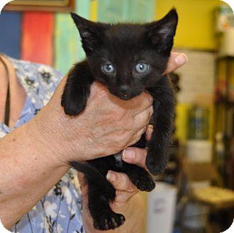 Domestic Shorthair Kitten for adoption in Sunrise Beach, Missouri - Lucky