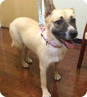 German Shepherd Dog/Collie Mix Dog for adoption in Oak Ridge, New Jersey - Diamond