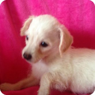 Poodle (Toy or Tea Cup)/Chihuahua Mix Puppy for adoption in Carlsbad, California - Heather