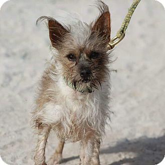 Terrier (Unknown Type, Small)/Shih Tzu Mix Dog for adoption in Bridgeton, Missouri - Tito-Adoption pending