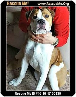 American Bulldog Mix Dog for adoption in Waldorf, Maryland - Denver