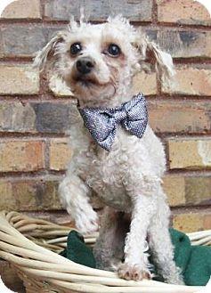 Poodle (Miniature) Mix Dog for adoption in Benbrook, Texas - Breeze