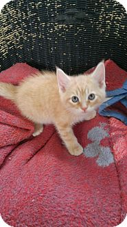 Domestic Mediumhair Kitten for adoption in Louisville, Kentucky - Squeekers--adopted!!