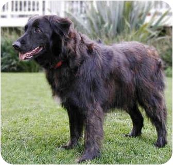 Irish Setter/Border Collie Mix Dog for adoption in Marina del Rey, California - Eliza