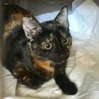Adopt A Pet :: Cleo Catra - Schertz, TX