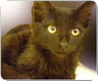 Domestic Mediumhair Kitten for adoption in San Clemente, California - ROSS