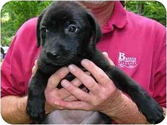 Labrador Retriever/Golden Retriever Mix Puppy for adoption in Cumming, Georgia - Sully