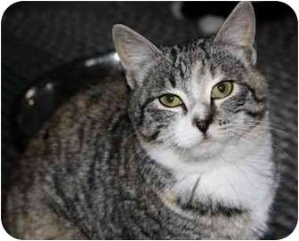 Domestic Shorthair Kitten for adoption in Davis, California - Maisy