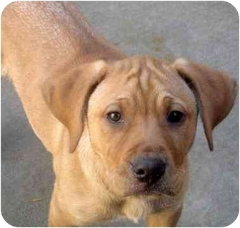 Labrador Retriever/Boxer Mix Puppy for adoption in Chicago, Illinois - Brittany*ADOPTED!*
