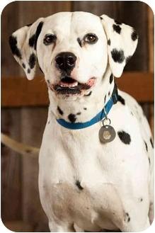Dalmatian Dog for adoption in Portland, Oregon - Reno
