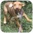 Photo 3 - Beagle/Hound (Unknown Type) Mix Puppy for adoption in Kansas City, Missouri - Barney