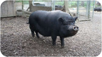 Pig (Potbellied) for adoption in Quilcene, Washington - Mohawk