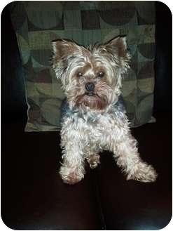Yorkie, Yorkshire Terrier Dog for adoption in Jacksonville, Florida - Clark