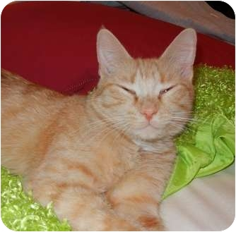 Domestic Shorthair Cat for adoption in Southington, Connecticut - Gracie