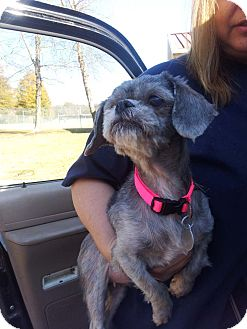 Shih Tzu/Terrier (Unknown Type, Small) Mix Dog for adoption in Huntsville, Alabama - Zoe