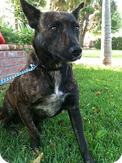 German Shepherd Dog/Shepherd (Unknown Type) Mix Dog for adoption in Irvine, California - PINTA, sweet and humble