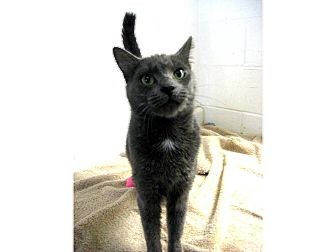 Domestic Shorthair Cat for adoption in North Kingstown, Rhode Island - DAISEY