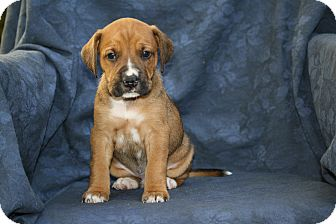 Boxer/Beagle Mix Puppy for adoption in West Milford, New Jersey - SAGE  7 wks.