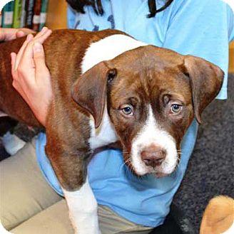 Boxer/Labrador Retriever Mix Puppy for adoption in Salem, New Hampshire - PUPPY JACKSON