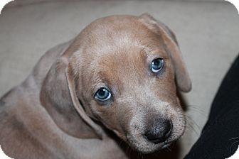 Basset Hound Mix Puppy for adoption in Spokane, Washington - Max