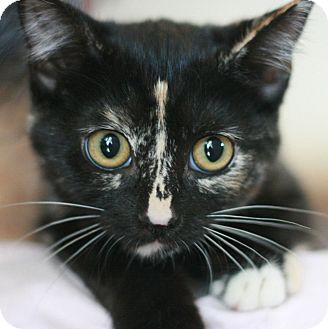 Calico Kitten for adoption in Canoga Park, California - Alynna