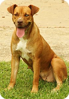 Labrador Retriever/Boxer Mix Dog for adoption in Snohomish, Washington - Kensie, Loveable on 3 legs