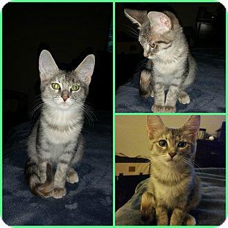Domestic Shorthair Kitten for adoption in Arlington/Ft Worth, Texas - Autumn