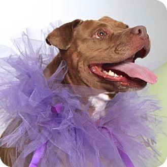 American Staffordshire Terrier Mix Dog for adoption in Gloucester, Virginia - AZALEA