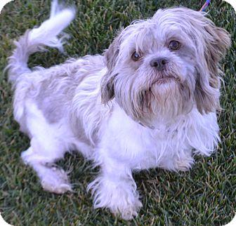 Shih Tzu Mix Dog for adoption in Fruit Heights, Utah - Waldo