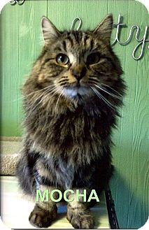 Domestic Longhair Cat for adoption in Medway, Massachusetts - Mocha