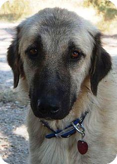 Anatolian Shepherd Dog for adoption in San Antonio, Texas - Patches