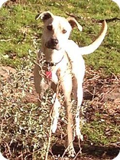 Labrador Retriever/Black Mouth Cur Mix Dog for adoption in Austin, Texas - Howdy