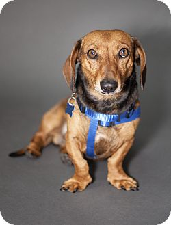 Dachshund Mix Dog for adoption in Thousand Oaks, California - Snickers