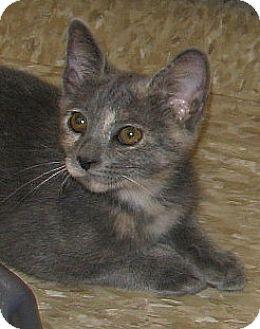 Domestic Shorthair Kitten for adoption in Tulsa, Oklahoma - Butterfly