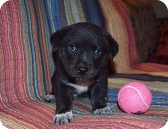 Labrador Retriever/Australian Shepherd Mix Puppy for adoption in Kittery, Maine - CATE