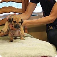 Adopt A Pet :: Romo - Brattleboro, VT