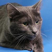 Domestic Shorthair Cat for adoption in Overland Park, Kansas - Adonis