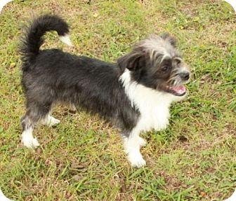 Shih Tzu/Chihuahua Mix Puppy for adoption in Brattleboro, Vermont - Will