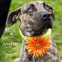 Adopt A Pet :: AMORE - NYC, NY