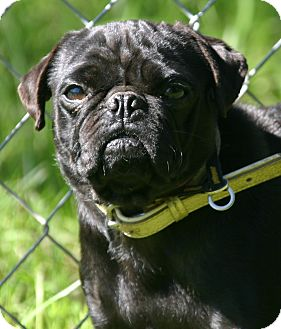Pug Mix Puppy for adoption in Waldorf, Maryland - Elise