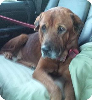 Labrador Retriever Mix Dog for adoption in Littleton, Colorado - GARTH