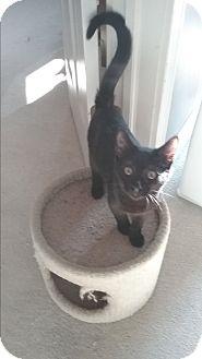 Domestic Shorthair Kitten for adoption in Kokomo, Indiana - BIG BEN